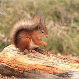 Eichhörnchen im Trollskogen, Fløyen