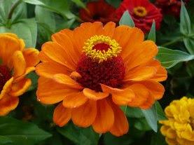 cynia kwiat