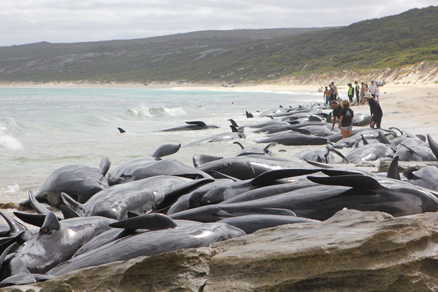 ‏150 short-finned pilot whales stranded at Hamelin Bay, Australia, 23 March 2018. Parks and Wildlife Service staff with veterinary assistance and support of Sea Search and Rescue trained volunteers worked to ensure the welfare of the 6 surviving whales. Photo: Australia Parks and Wildlife