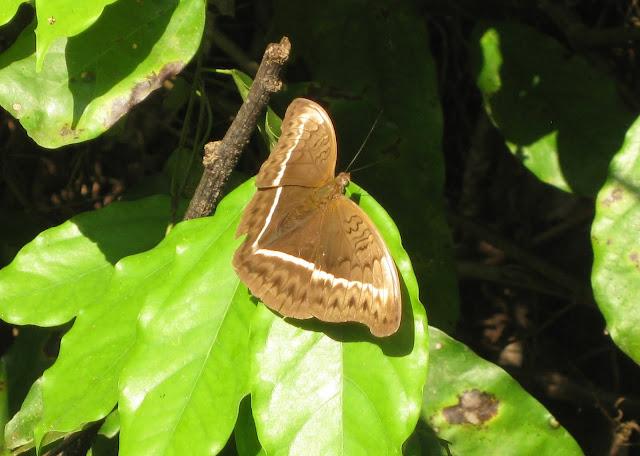 Cymothoe egesta CRAMER, 1775, femelle. Atewa Hills (Ghana), 28 décembre 2009. Photo : Henrik Bloch