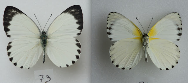 Appias phaola phaola (DOUBLEDAY, 1847), mâle. Ebogo (Cameroun), avril 2013. Coll. et photo : C. Basset