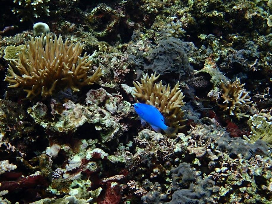 Chrysiptera cyanea (Blue Devil Damselfish), Small Lagoon, Miniloc Island, Palawan, Philippines.