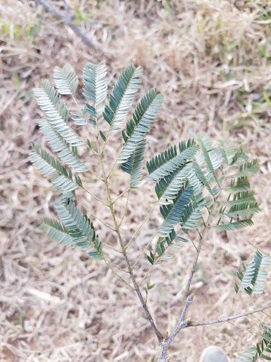 Ramo foliar do angico rajado onde é possível observar o nectário extrafloral próximo ao primeiro par de pina