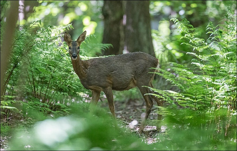 Roe Deer;  Woodland wildlife