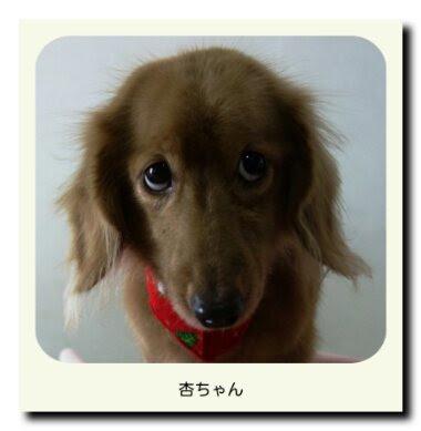 ミニチュアダックスフンドの杏ちゃん