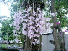 公園樹上的天宮石斛蘭(瀑布蘭)Dendrobium aphyllum