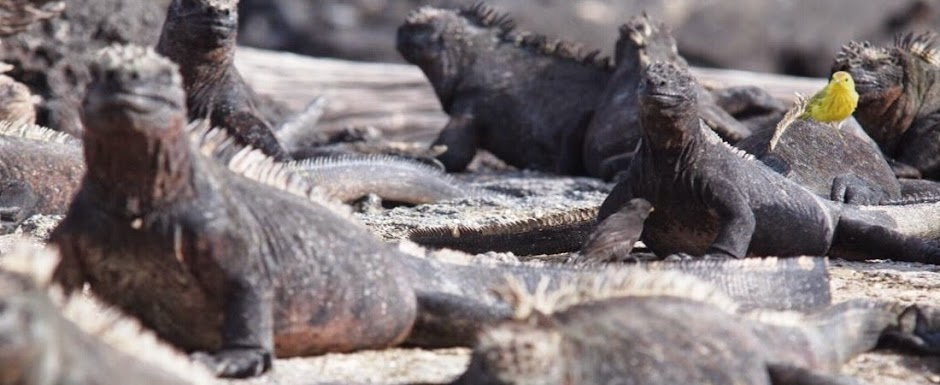 GalapagosIslandsMarineIguanas_YellowFinch.jpg