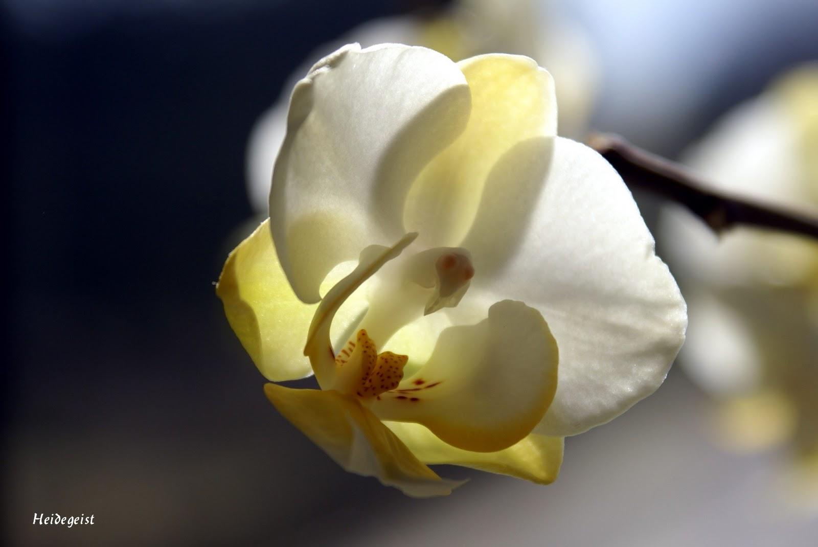 heidegeist hallo nathalie und meine orchidee. Black Bedroom Furniture Sets. Home Design Ideas