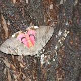 Noctuidae : Catocalinae : Catocala electa VIEWEG, 1790 (2100 m). Shaxi (Yunnan), 12 août 2010. Photo : J.-M. Gayman