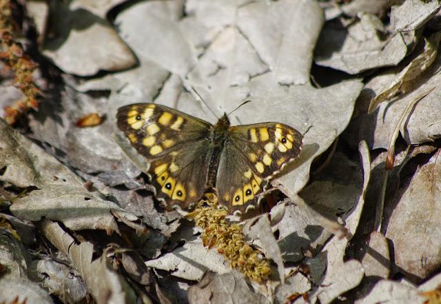 Pararge aegeria (LINNAEUS, 1758). Près du Pavillon de chasse, Forêt de Dreux. 5 mai 2013. Photo : J.-M. Gayman