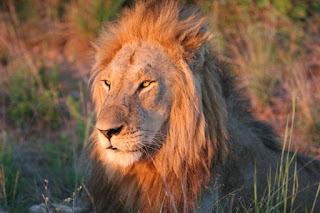 Na foto safariju vas čaka najverjetneje tudi kralj živali