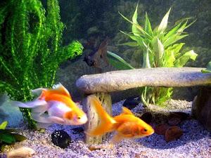 Tại sao cá lại ngửa bụng lên mặt nước khi chết