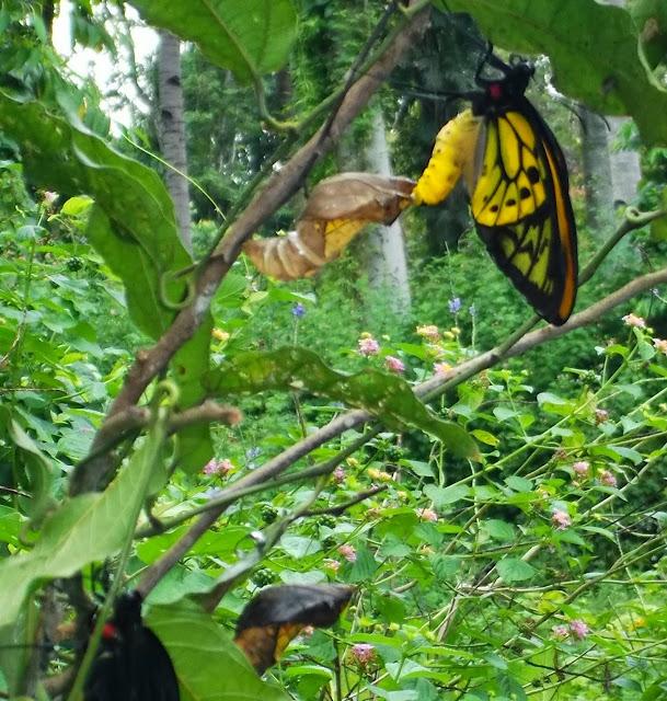 Émergence d'Ornithoptera croesus croesus WALLACE, 1859, mâle. Pulau Bacan (Moluques, Indonésie), 10 septembre 2013. Photo : Eko Harwanto