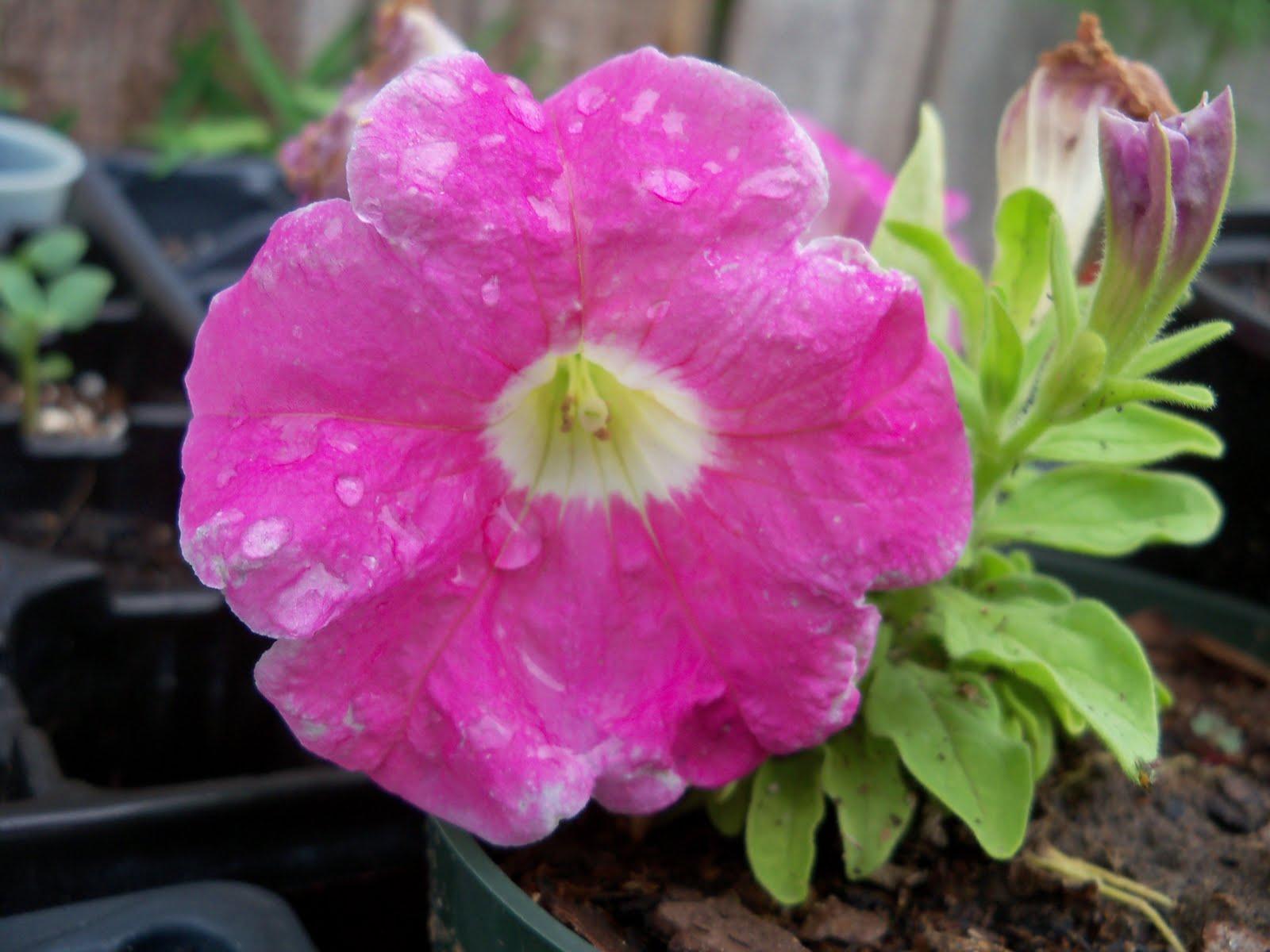 Gardening 2010 - 101_1578.JPG
