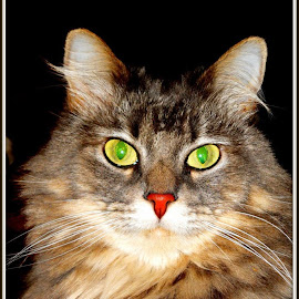 Cricket by Cathy Henson - Animals - Cats Portraits ( cat, cricket, longhair, yellow, eyes,  )
