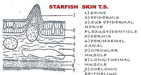 star fish-skin