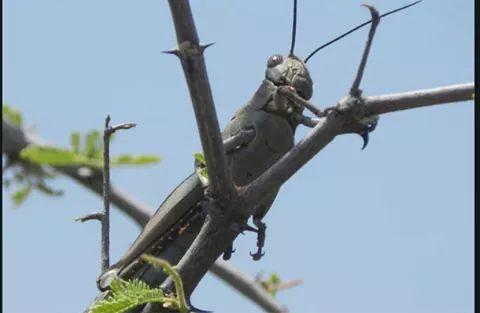 Locust plague invades Kenyan vegetation. PHOTO | BMS
