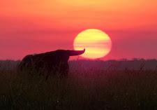 Beautiful Northern Territory sunset with a buffalo
