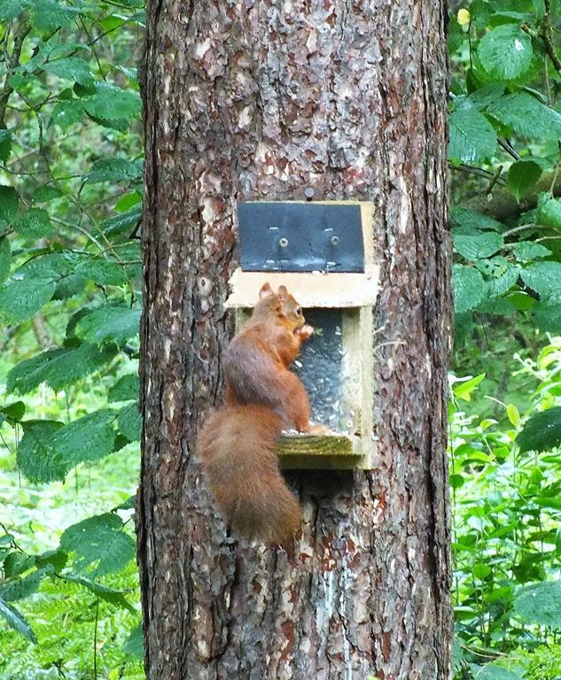 [red+squirrel+Newborough+forest+August+2017+%281%29%5B4%5D]