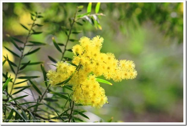 160215_UCDA_AcaciaGrove_Acacia-fimbriata_003