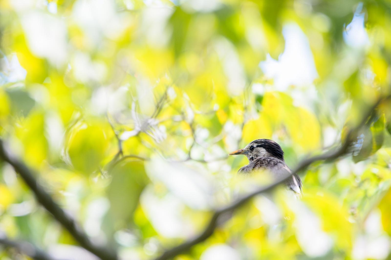 Photo: 「夏の輝きに溶けて」 / Shine of summer.  強い陽射しが葉を抜けて 緑の光に包まれる 色濃い季節 夏の輝きに溶けていく  White-cheeked Starling. (ムクドリ)  Nikon D500 SIGMA 150-600mm F5-6.3 DG OS HSM Contemporary  #birdphotography #birds #kawaii #ことり #小鳥 #nikon #sigma  ( http://takafumiooshio.com/archives/2780 )