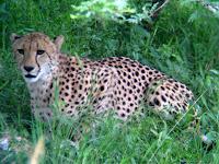 Cheetah - Thornybush Reserve, Kruger NP