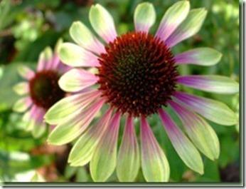 Echinacea Green Envy_thumb