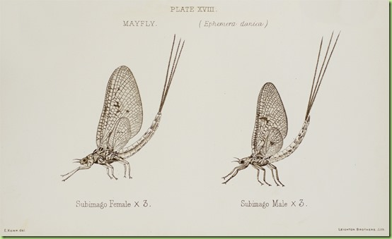 mayfly2_large