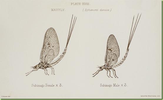 mayfly2_large