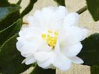 白色 八重咲き 小輪