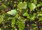 Grøn busksommerfugl.jpg