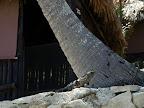 Der Haus-Iguana