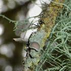 Pore Lichen