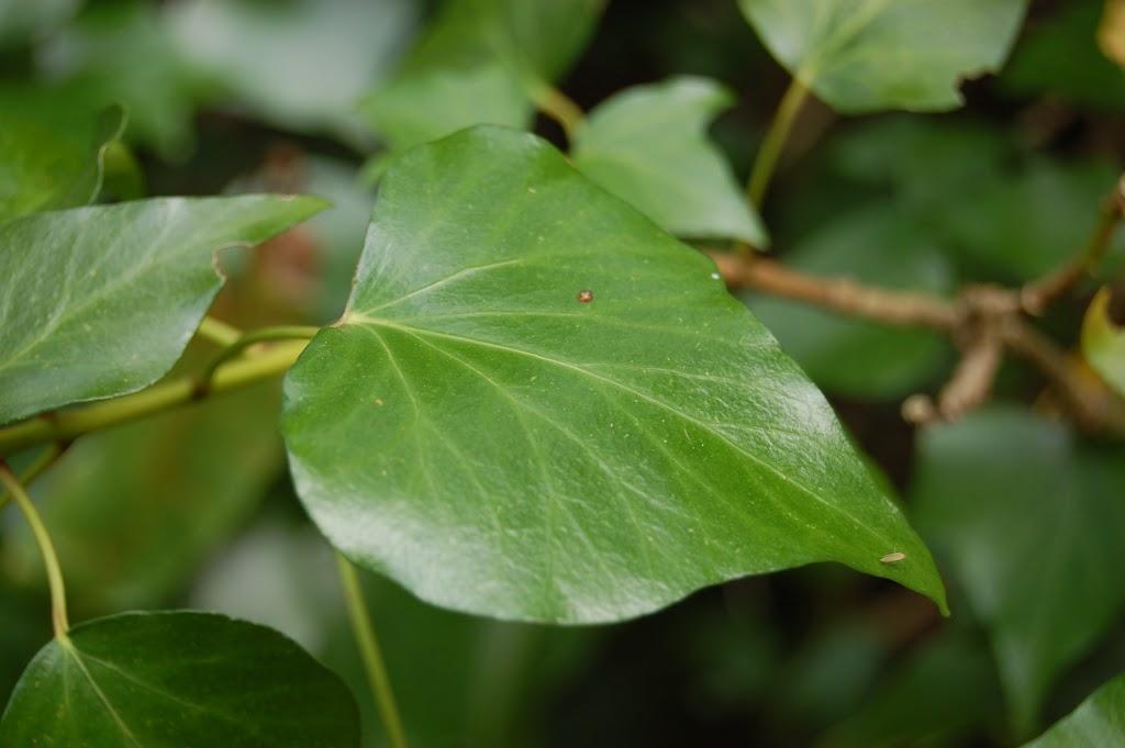 hedera-helix-adult-leaf
