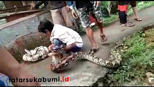 Ular Piton Jenis Sanca Batik Serang Pemukiman Warga Cibadak