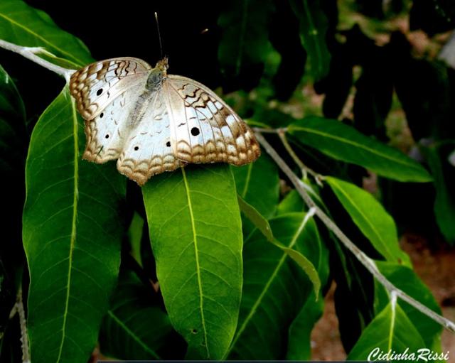 Anartia jatrophae jatrophae (LINNAEUS, 1763). Colider (Mato Grosso, Brésil), janvier 2010. Photo : Cidinha Rissi