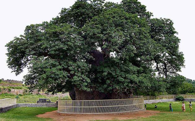 "This 450-year-old Baobab at the Naya Qila near Golconda is quite the local celebrity. In true Hyderabadi fashion, it is called ""Hathiyan ka Jhaad"" (Elephant Tree) and was supposedly gifted to the Qutb Shahi kings by African mercenaries. It has a massive 10' X 10' cavity that was apparently used as a hideout for thieving crooks back in the day!"