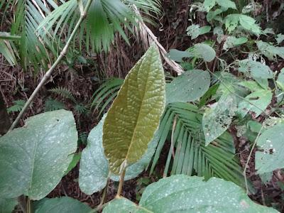 Piper cernuum http://sites.google.com/site/florasbs/home  São Bento do Sul - Santa Catarina