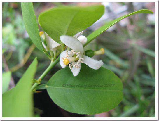 04-25-key-lime-flowersjpg