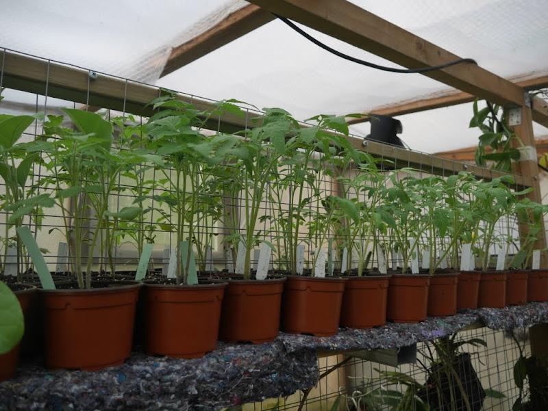 Tomates et compagnie, en folie P1080382