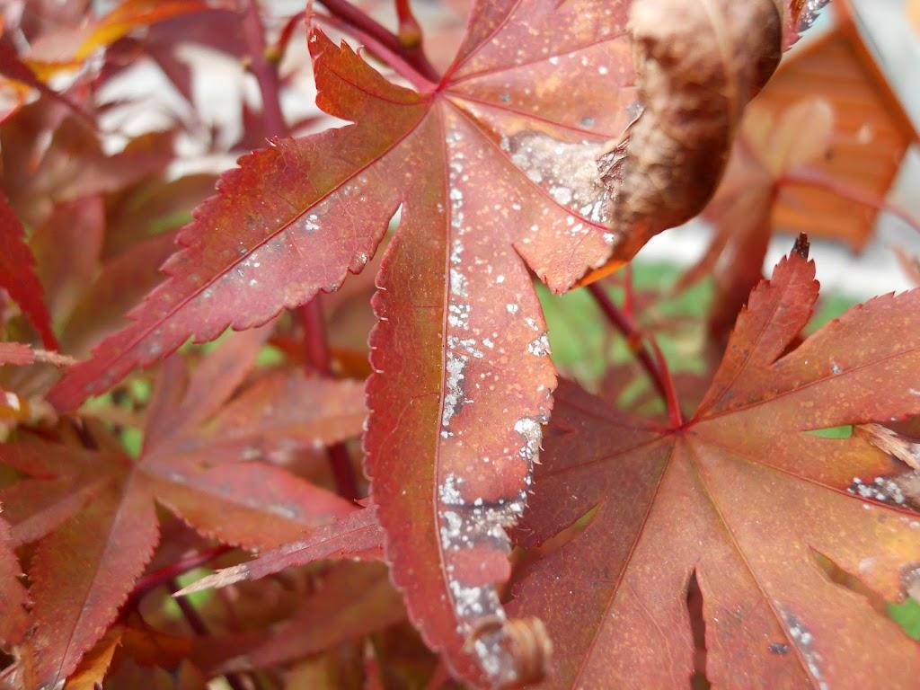 Problema foglie Acero Rosso Palmato  Forum di Giardinaggioit