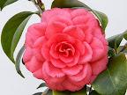 紅色 千重咲き 中〜大輪