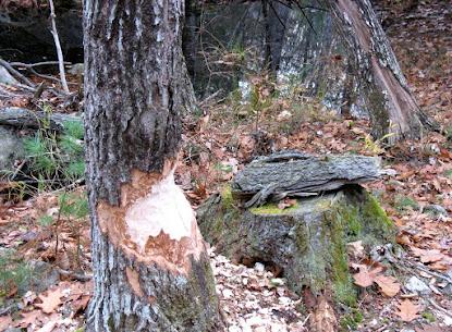 beaver chewed trees-1.jpg