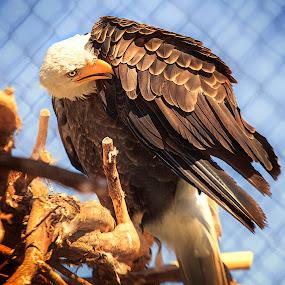 Eagle by Sandra Hilton Wagner - Animals Birds ( bird, perched, eagle, beak, feathers, eye, aniaml,  )