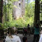 Neuseeland - Kauri-Trees