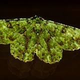 Geometridae : Geometrinae : Aeolochroma hypochromaria GUÉNÉE, 1857. Umina Beach (N. S. W.), 29 novembre 2011. Photo : Barbara Kedzierski