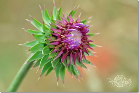 thistle-bloom