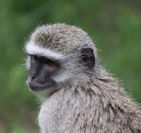 Vervet Juvenile, Botswana