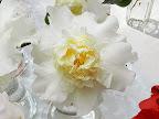 白色 八重 牡丹〜唐子咲き 大輪