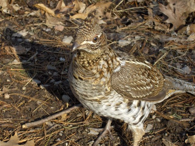 Ruffed Grouse (Rob Welsh)